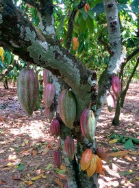 Mata de Cacao